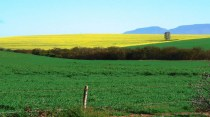 canola-fields